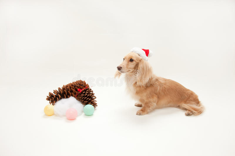 Download Christmas dachshund stock image. Image of room, beige - 11774175