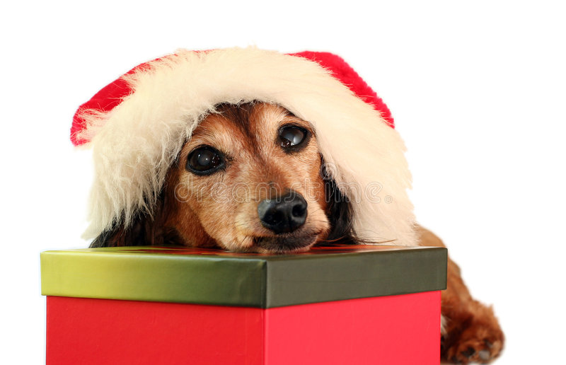 Christmas dachshund stock images