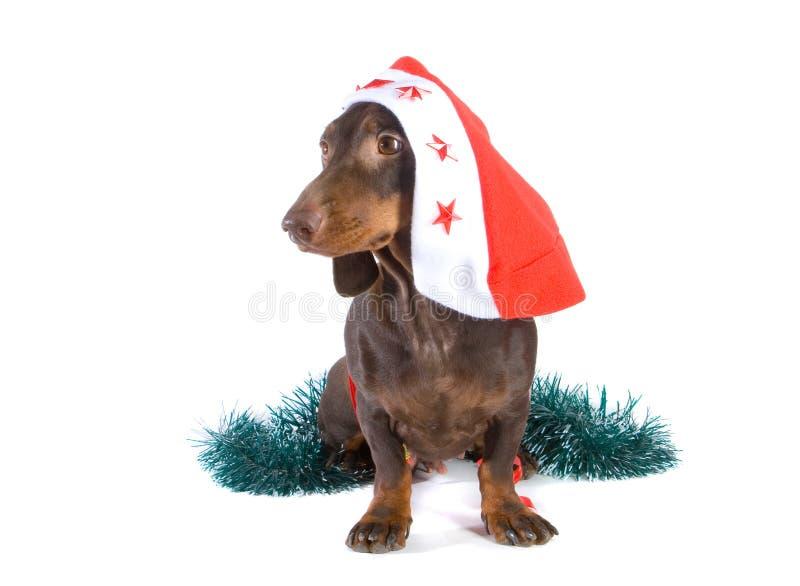 Christmas dachshund stock photo