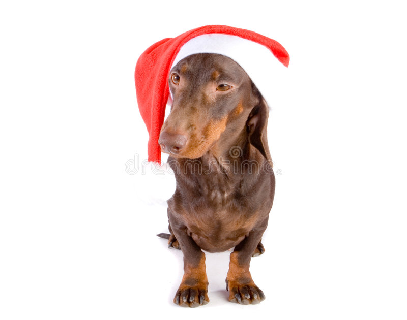 Christmas dachshund stock photos