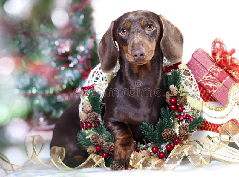 Christmas dachshund dog royalty free stock images