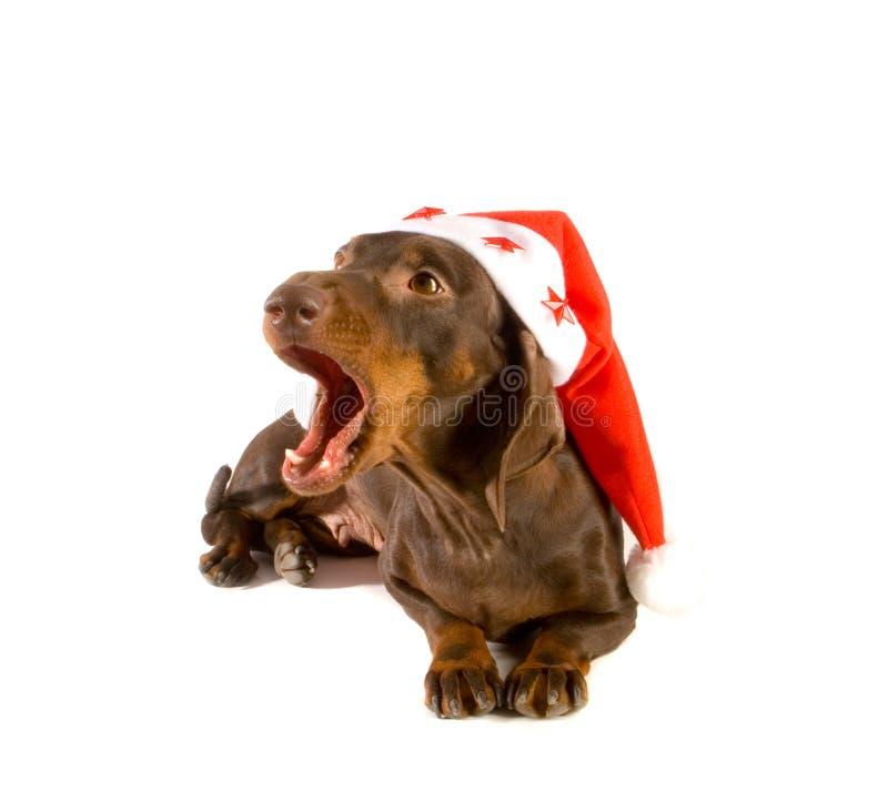Christmas dachshund yawning stock photo