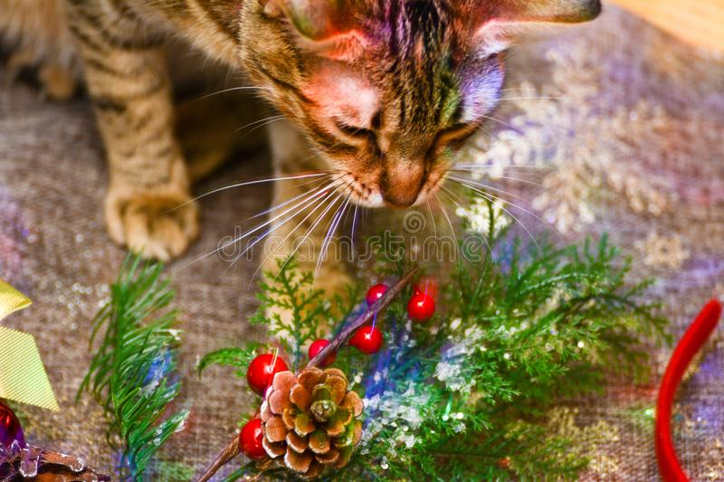 Christmas kitty decorations. Christmas decorations along with a tabby kitty playing with them royalty free stock image