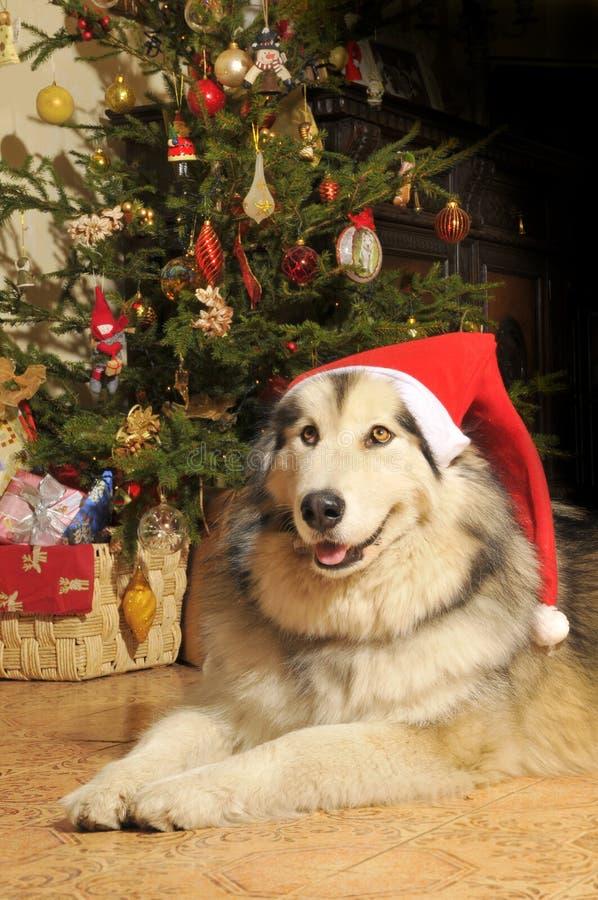 Christmas Dog. Alskan malamute with a Christmas cap stock image
