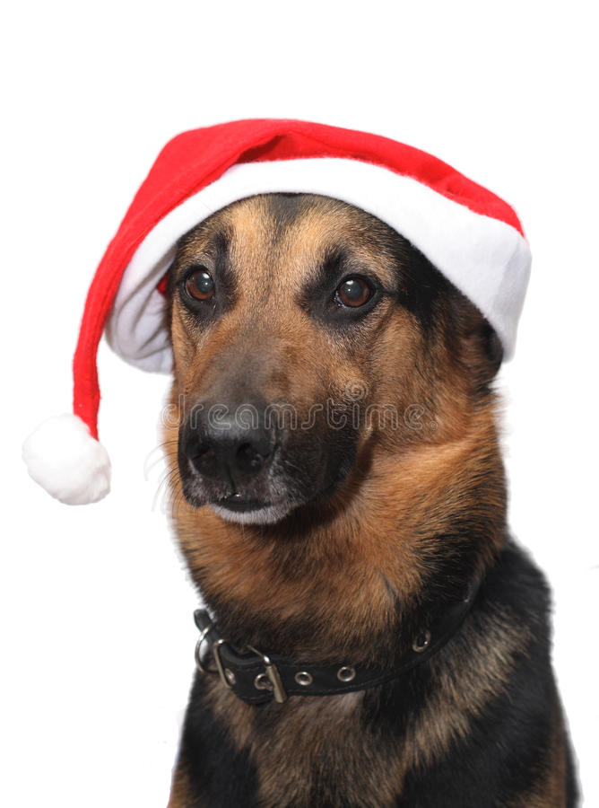 Download Christmas Dog stock photo. Image of close, canine, friendship - 12261602