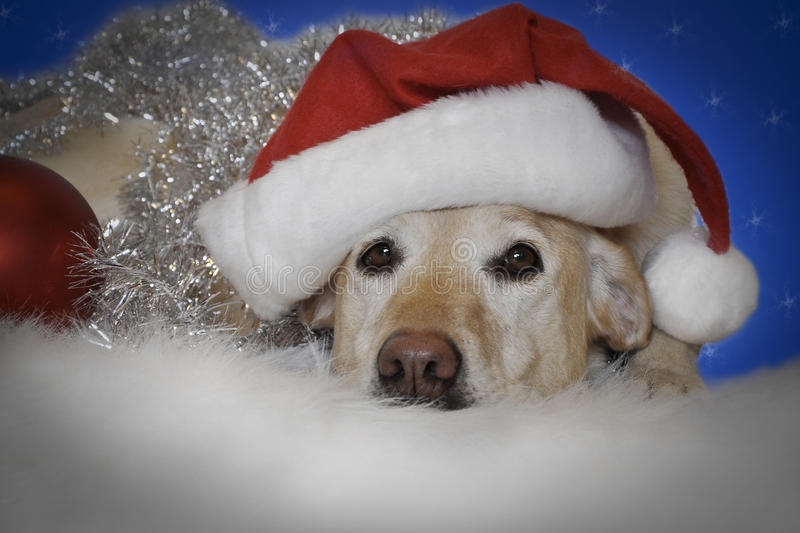 Christmas dog. Holiday christmas dog,laying down wrapped in silver tinsel wearing a red christmas santa hat, isolated on a blue background with snowflakes royalty free stock photos