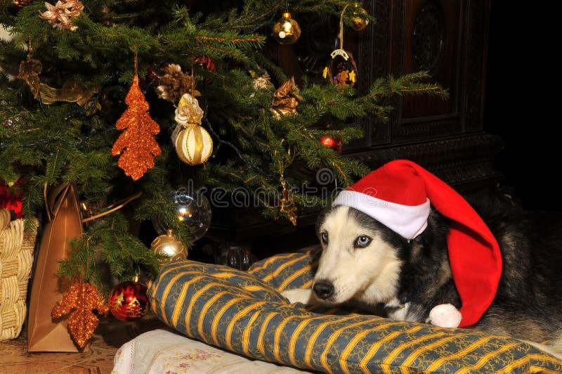Christmas Dog #2. Siberian Husky with a Christmas suit royalty free stock images