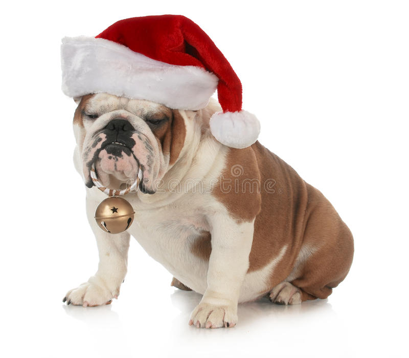 Christmas dog. English bulldog wearing santa hat holding christmas bell on white background stock images