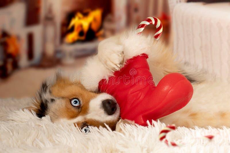 Christmas, dog Australian Shepherd lies idyllically in front of royalty free stock photography