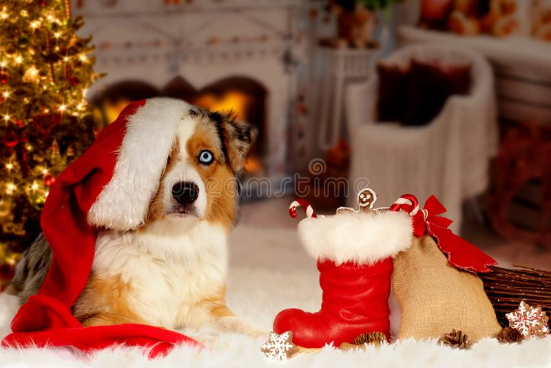 Christmas, dog Australian Shepherd lies idyllically in front of royalty free stock photo