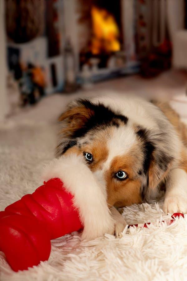 Christmas, dog Australian Shepherd lies idyllically in front of stock photo