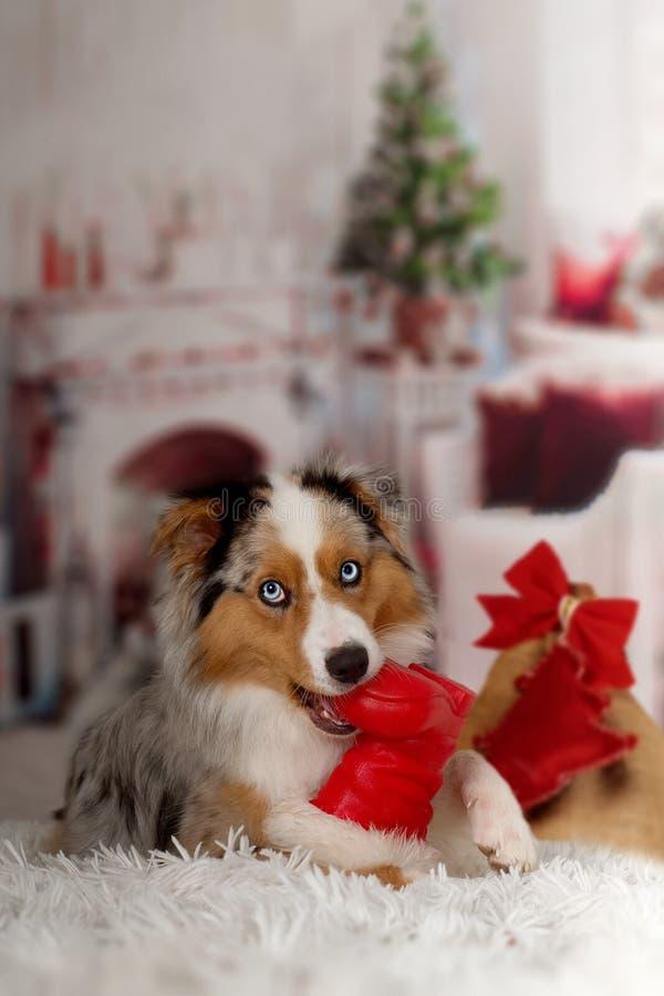 Christmas, dog Australian Shepherd lies idyllically in front of stock images