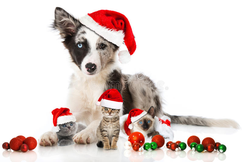 Christmas dog and cats. Isolated on white royalty free stock photos