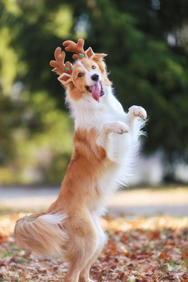 Red border collie dog dancing royalty free stock photography