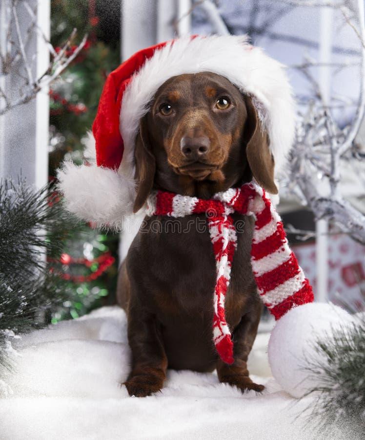 Christmas dog. Dachshund in Santa Hat, New Year`s puppy, Christmas dog stock photo