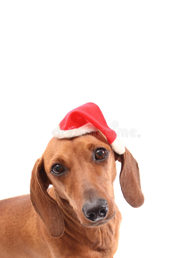 Christmas dog face royalty free stock images
