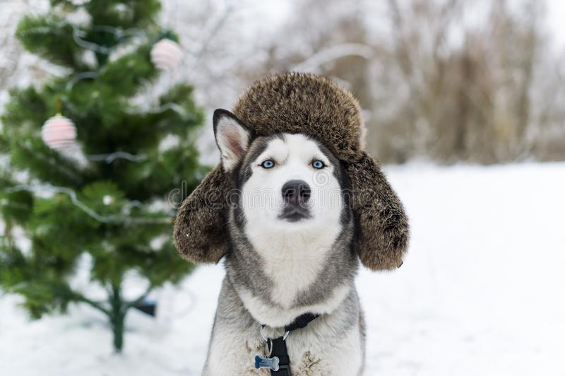 Christmas dog with fur cap with ear flaps. Closeup portrait stock image