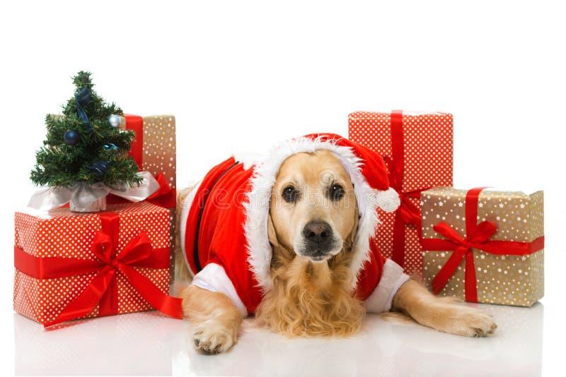 Christmas dog. Isolated on white royalty free stock photography