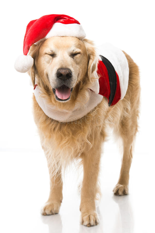 Christmas dog. Isolated on white royalty free stock images