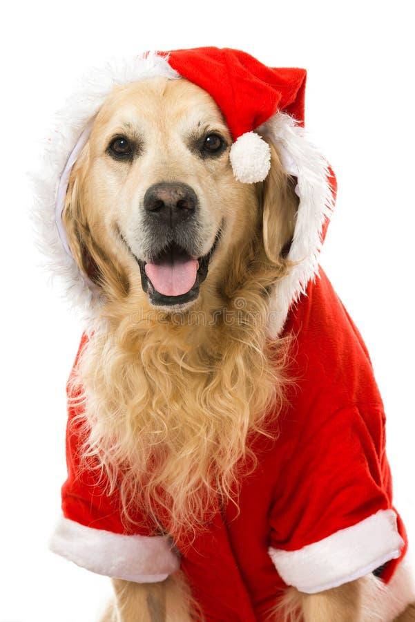 Christmas dog. Isolated on white stock photography