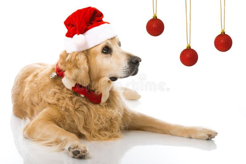 Christmas dog. Isolated on white royalty free stock image