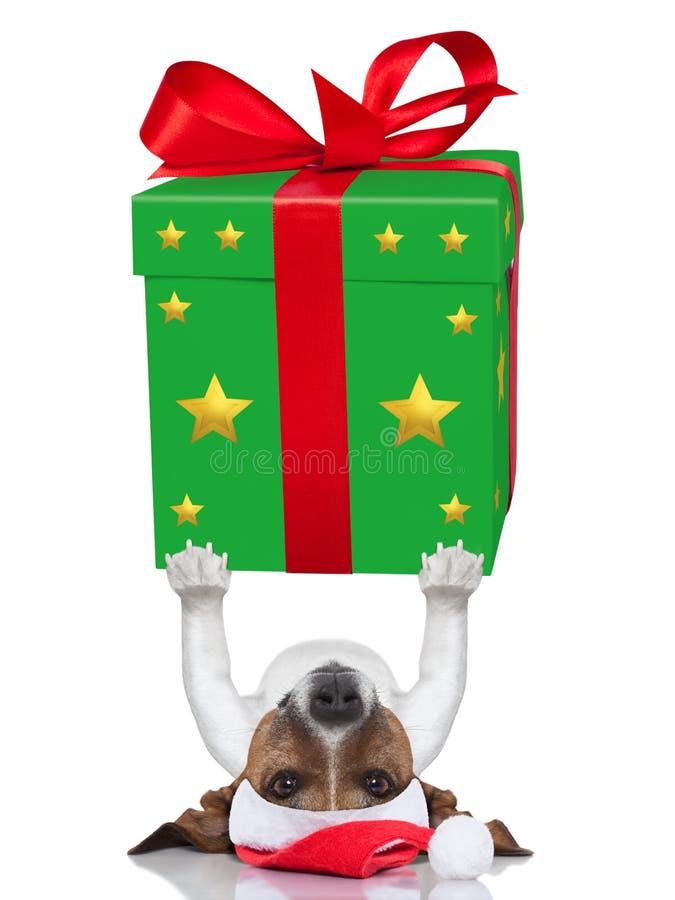 Christmas dog. Lifting a very big and bold present stock photography