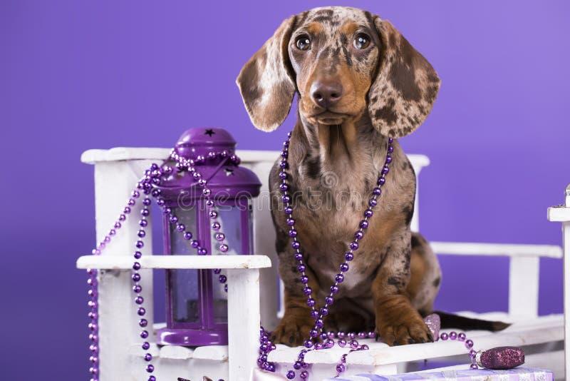 Christmas dog. New Years puppy, Christmas dog dachshund stock photo