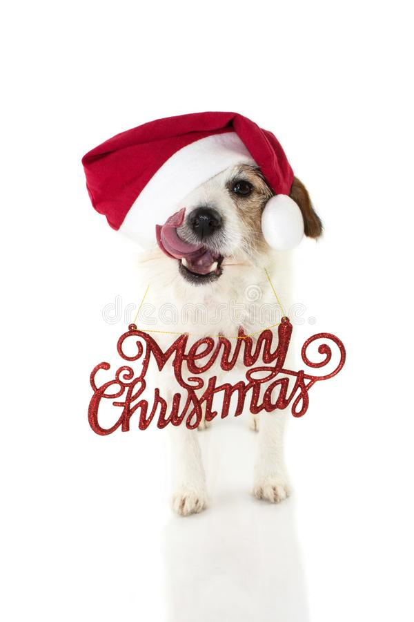 CHRISTMAS DOG PORTRAIT. FUNNY JACK RUSSELL PUPPY WEARING RED SAN stock image
