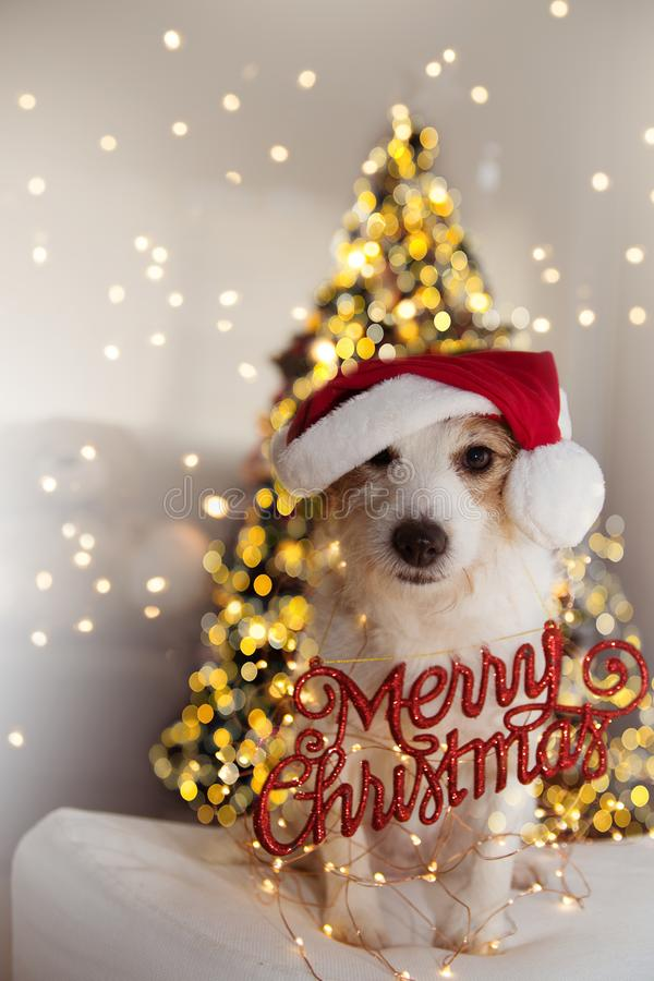 CHRISTMAS DOG PORTRAIT. FUNNY JACK RUSSELL PUPPY WEARING RED SANTA CLAUS HAT AND A MERRY CHRISTMAS SIGN UNDER CHRISTMAS TREE royalty free stock photo