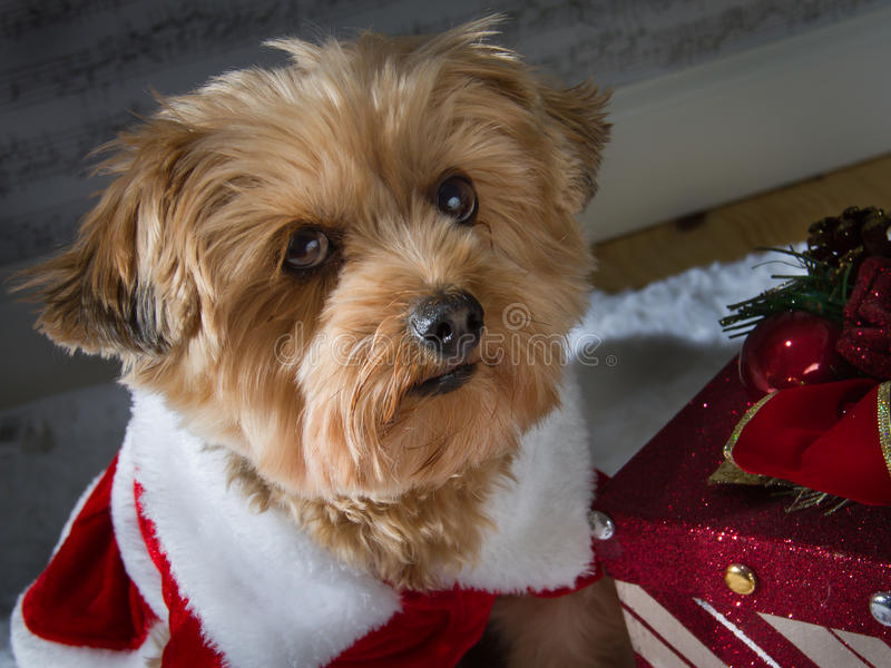 Christmas dog with a present royalty free stock photography