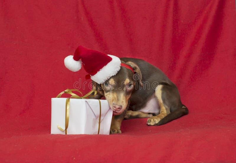 Christmas dog puppy santa claus cap royalty free stock photos