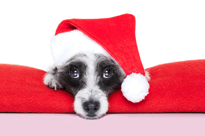 Christmas dog. On a red blanket with santa hat stock photos
