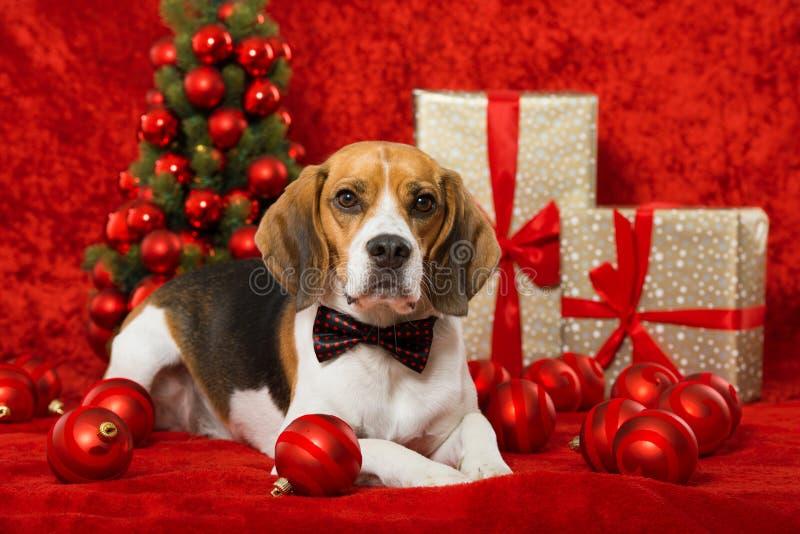 Christmas dog. On red christmas decoration stock photos