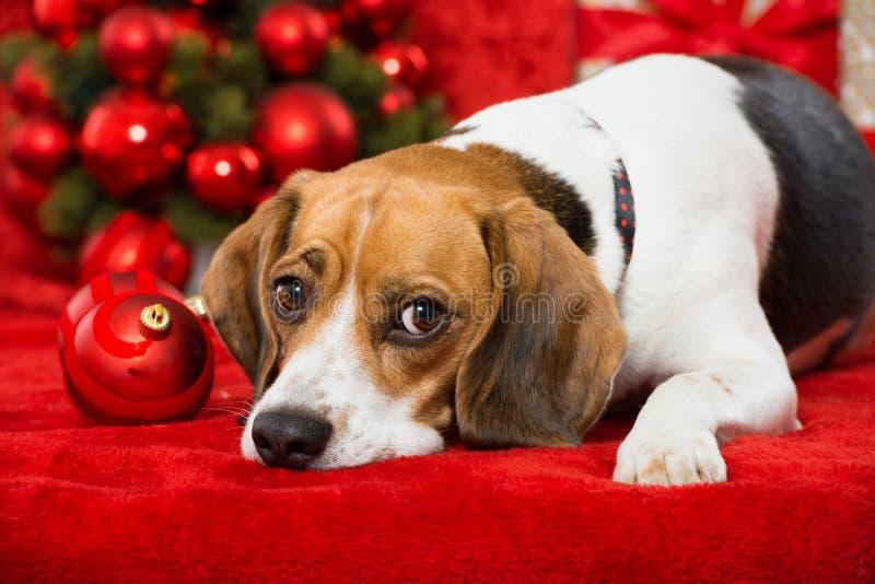 Christmas dog. On red christmas decoration royalty free stock photos