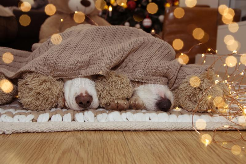 CHRISTMAS DOG. TWO PUPPIES COVERED WITH A BEIGE BLANKET SHOWING THE NOSE AND THE CHRISTMAS TREE LIGHTS LIKE BACKGROUND.  royalty free stock images