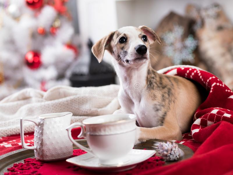 Christmas dog whippet. Christmas morning, next to the sofa is a dog, whippet royalty free stock images