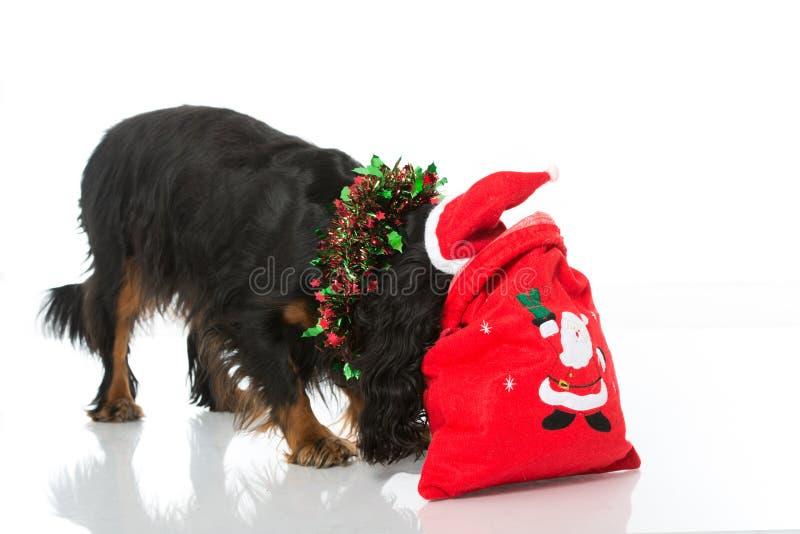 Christmas dog. On white royalty free stock photos