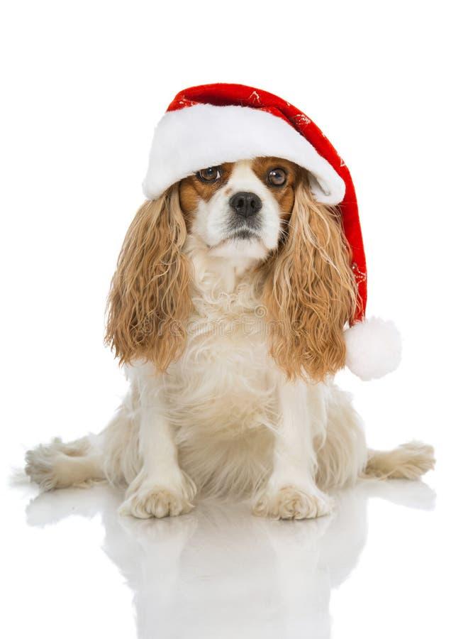 Christmas dog. On white royalty free stock photo
