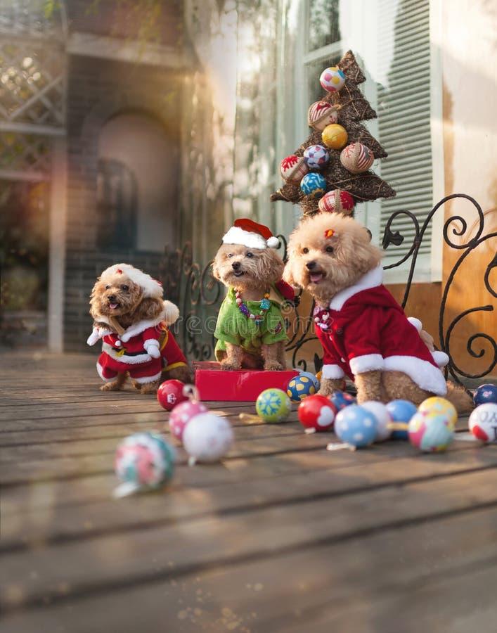Christmas Dogs stock photos