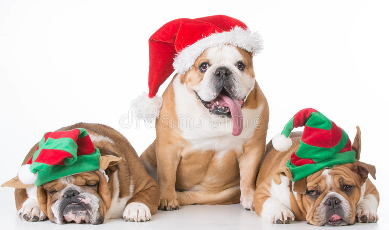 Christmas dogs stock photos