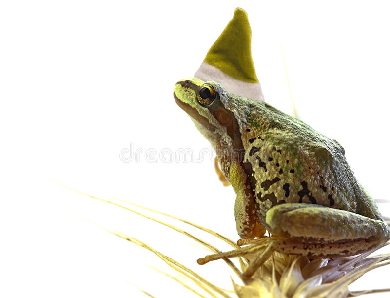 Christmas Elf Tree Frog Sitting on Stalk of Wheat