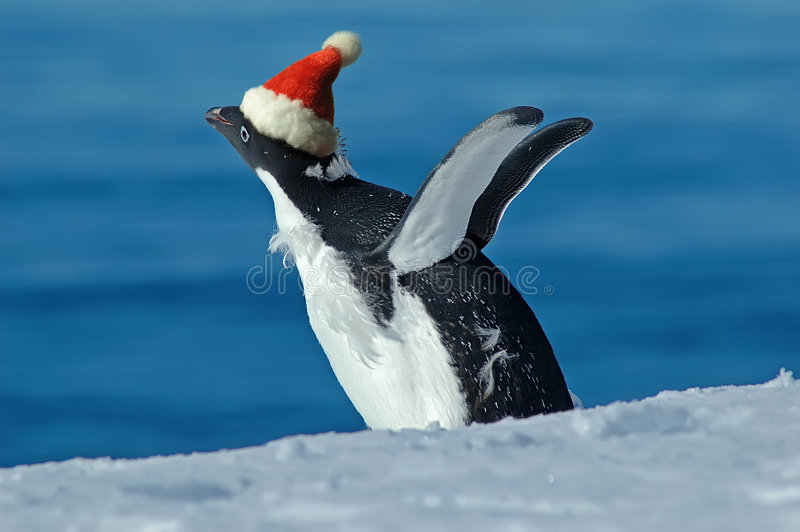 Christmas excitement. Antarctic adelie penguin seems to be excited at Christmas royalty free stock images