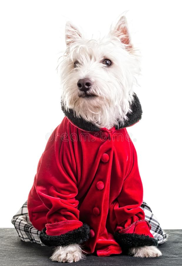 Download Christmas Fashion Dog stock image. Image of party, fashion - 27446813
