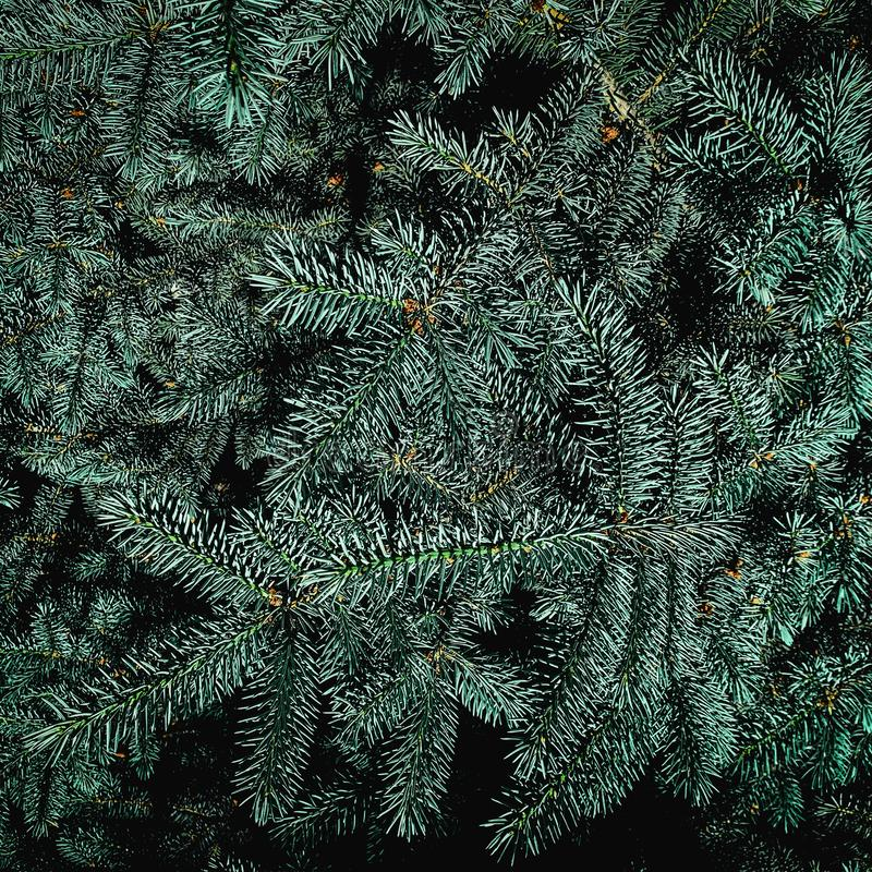 Christmas fir tree branches background.  Festive Xmas border of green spruce  tree, close up royalty free stock images