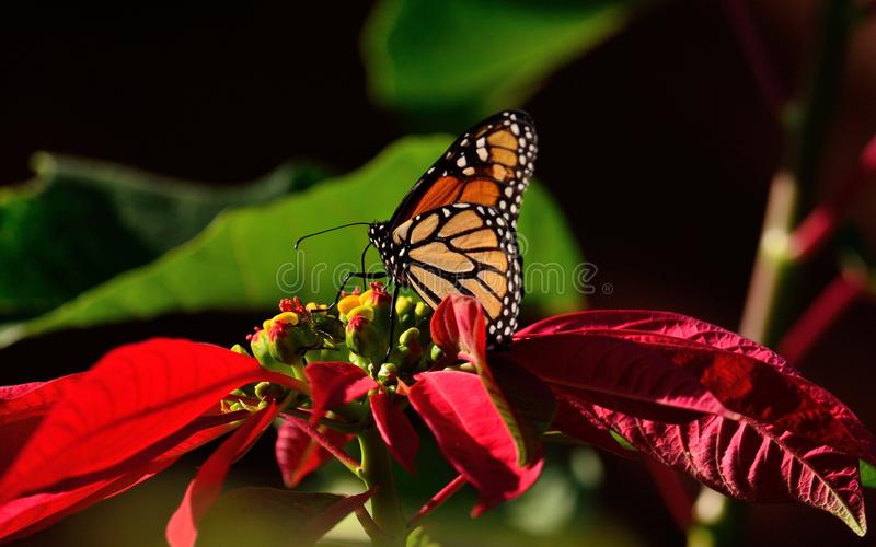 Christmas flower and monarch butterfly stock photo