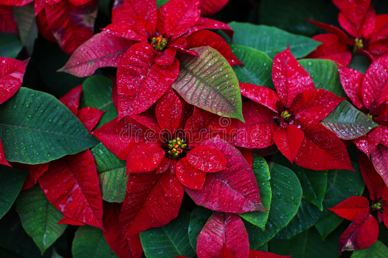 Christmas flower orpoinsettia with beautiful red foliage stock photo
