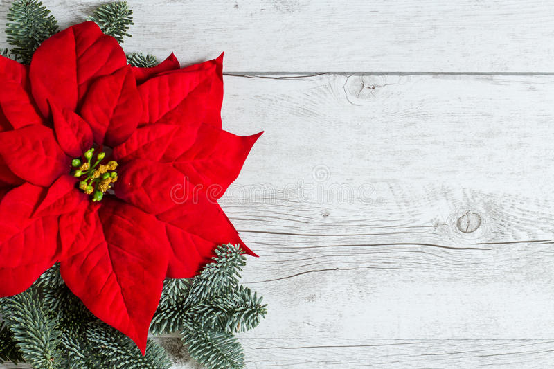 Christmas flower Poinsettia. Traditional Red Christmas flower Poinsettia and fir tree branches on white wood background stock image