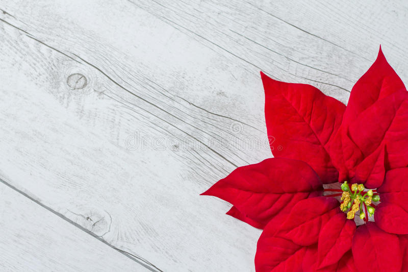 Christmas flower. Red Christmas flower on traditional white wood background royalty free stock photography