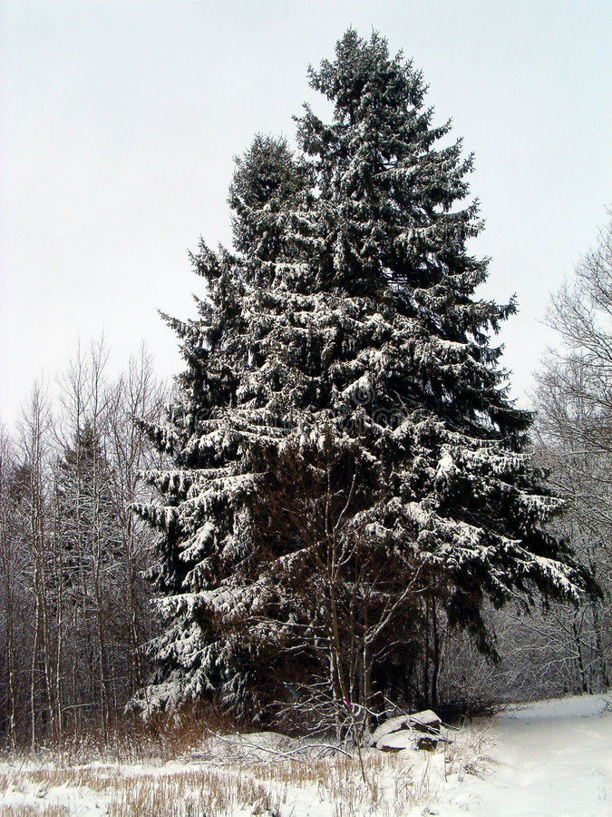 Christmas in forest royalty free stock image