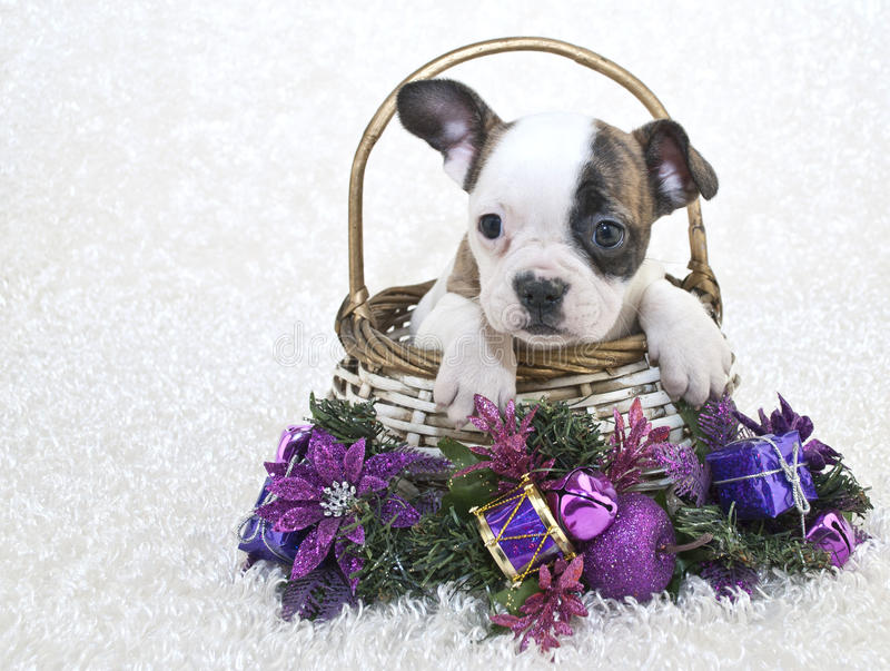 Download Christmas French Bulldog Stock Images - Image: 27645684
